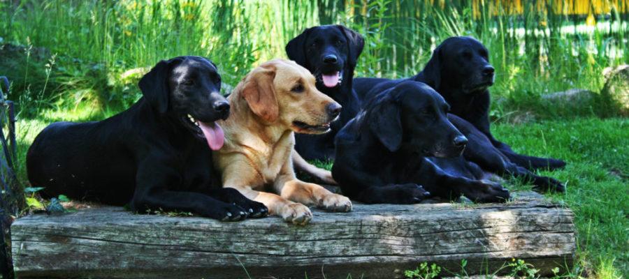Labrador gelb und schwarz