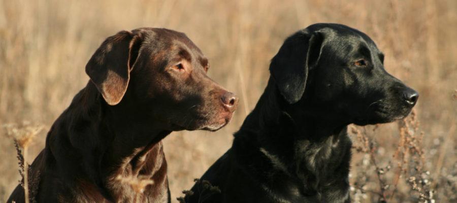 Labrador Retriever braun und schwarz