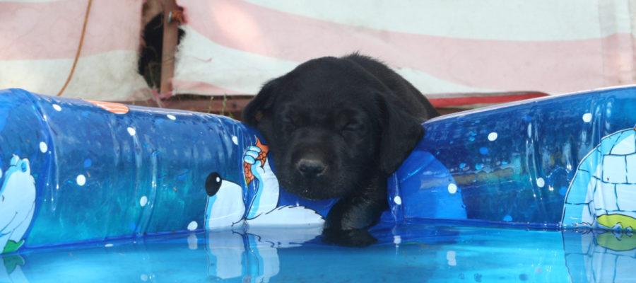 Labrador Retriever Welpen schwarz