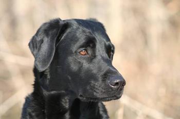 Labrador, Schwechat Wien-Umgebung
