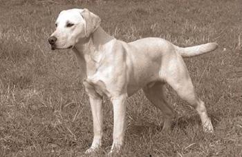 Labrador gelb
