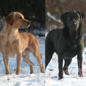 Labrador Retriever Welpen Wien Umgebung Niederösterreich Schwechat Welpen