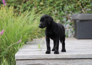 Field Trial Labrador, Labrador Arbeitslinie