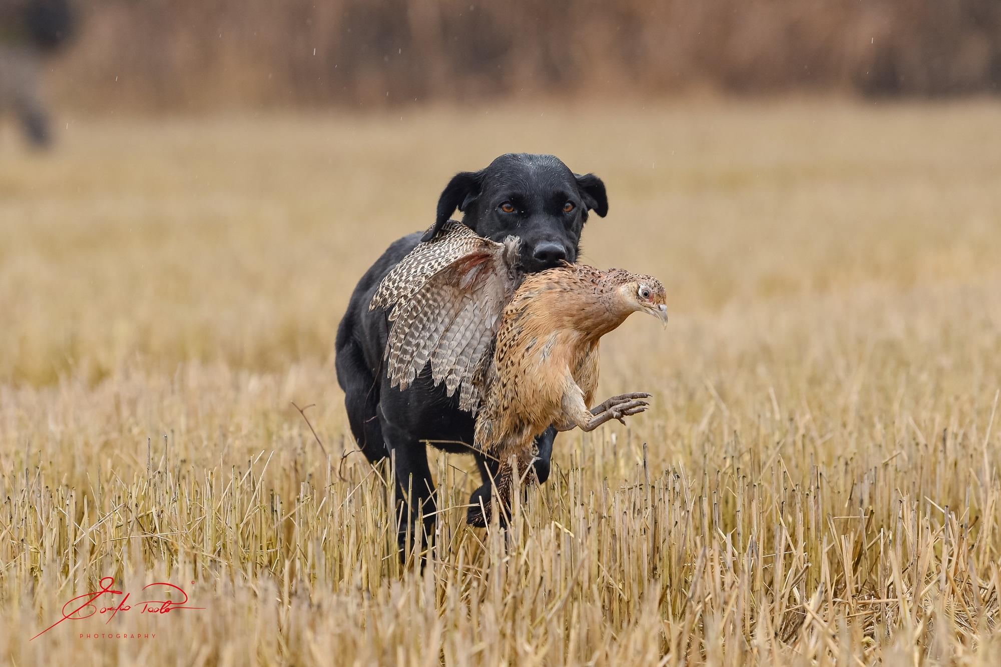 Labrador Arbeitslinie Österreich, Retrieverwelpen, Labradorwelpen Österreich
